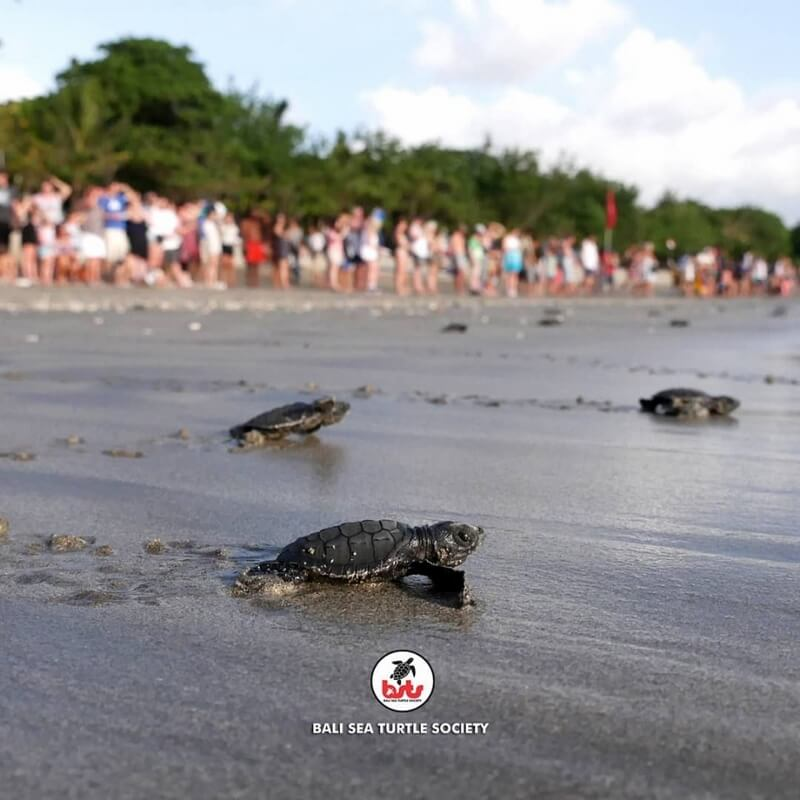 Bali Sea Turtle Society Release